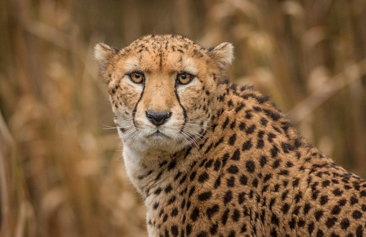 Who is faster: Dylan Groenewegen or a cheetah?